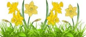 Daffodils Google Images