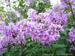 Lilacs from Google Images