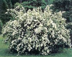 Spirea from Google Images