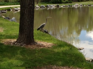 Our Annual Resident Heron (always single)